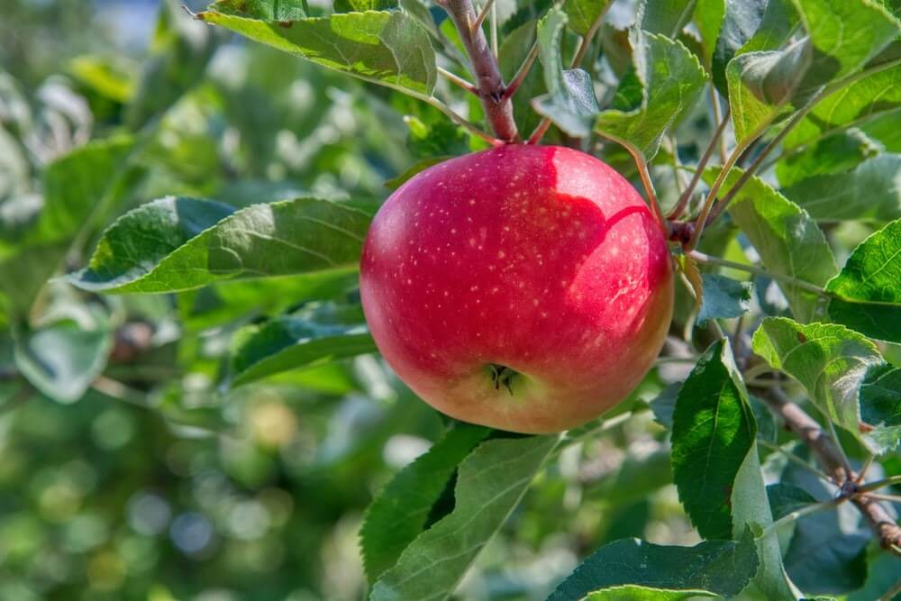 red apple fruit on green leaves during daytime