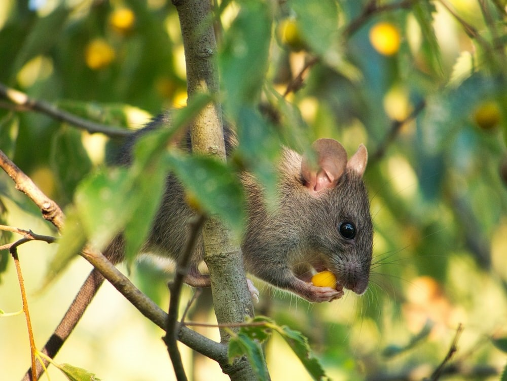 Garden Pests - Brown and gray mouse on brown tree branch during daytime