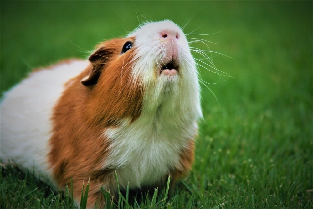 Small Pets: Brown and white guinea pig looking at the sky in a patch of grass.