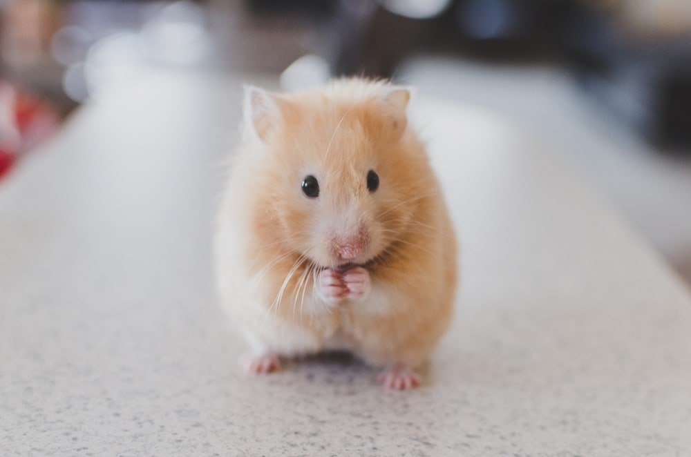 Small Pets: Small hamster with its hands by its mouth.