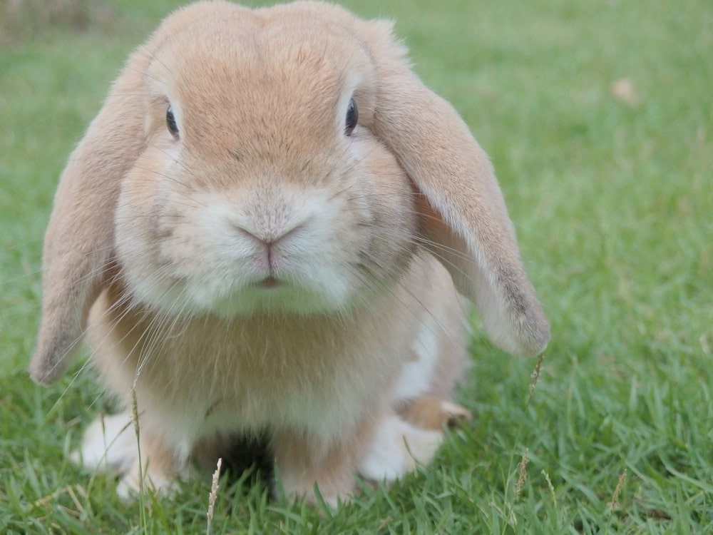 Small Pet: Brown rabbit sat in some grass.